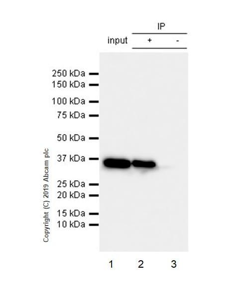 Immunoprecipitation - Anti-GAPDH antibody [EPR6256] - Loading Control (ab128915)