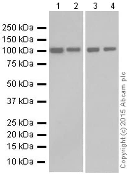 Western blot - Anti-KDM1/LSD1 antibody [EPR6825] - Nuclear Marker and ChIP Grade (ab129195)
