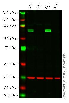 Western印迹-抗KD1/LSD1抗体[EPR68 25]——核标记和芯片级(AB129195)