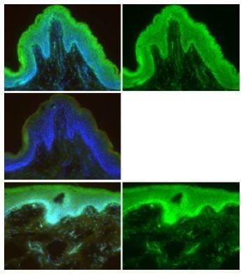 Immunocytochemistry/ Immunofluorescence - Anti-Mesp1 antibody (ab129387)