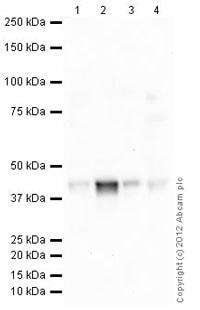 Western blot - Anti-Musashi 1 / Msi1 antibody [Y2709] (ab129819)