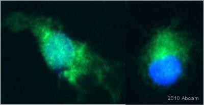 Immunocytochemistry/ Immunofluorescence - Anti-Superoxide Dismutase 1 antibody (ab13498)