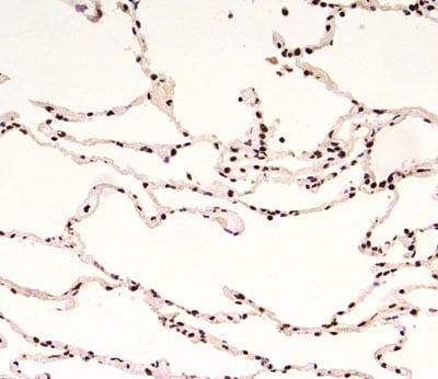 Immunohistochemistry (Formalin/PFA-fixed paraffin-embedded sections) - Anti-Rad9 antibody [93A535] (ab13600)