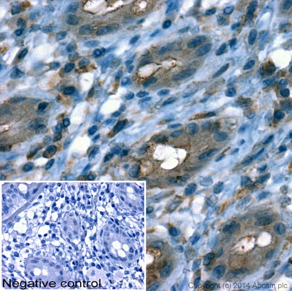 Immunohistochemistry (Formalin/PFA-fixed paraffin-embedded sections) - Anti-beta Actin antibody - Loading Control (ab13822)