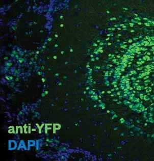 Immunohistochemistry (PFA perfusion fixed frozen sections) - Anti-GFP antibody (ab13970)