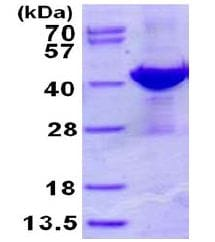 SDS-PAGE - Recombinant Human ADPRH protein (ab130031)