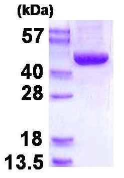 SDS-PAGE - Recombinant Human SBCAD protein (ab130042)