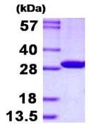 SDS-PAGE - Recombinant Human LOC134147/CMBL protein (ab130050)