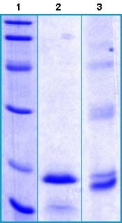 SDS-PAGE - Recombinant Human GLP1R protein (ab130280)