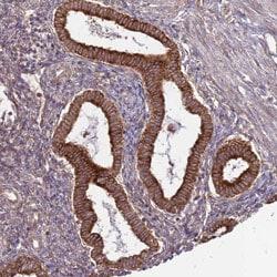 Immunohistochemistry (Formalin/PFA-fixed paraffin-embedded sections) - Anti-WDR21A antibody (ab130417)