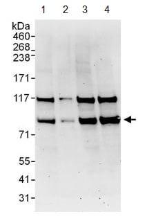 Western blot - Anti-THRAP5 antibody (ab130996)