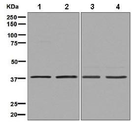 Western blot - Anti-HDGF antibody [EPR7899] (ab131046)