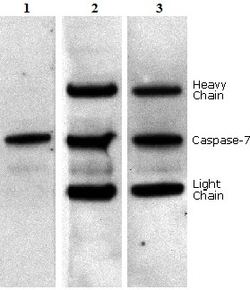 Western blot - Anti-mouse IgG for IP (HRP) (ab131368)