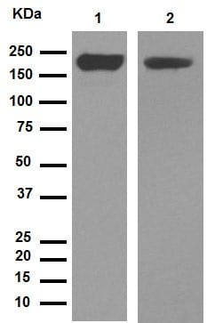 免疫印迹-抗CD11b抗体[EPR1344](ab133357)
