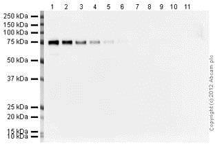 Western Blot 1/25000 primary antibody, 1/5000 secondary antibody, 20 second exposure