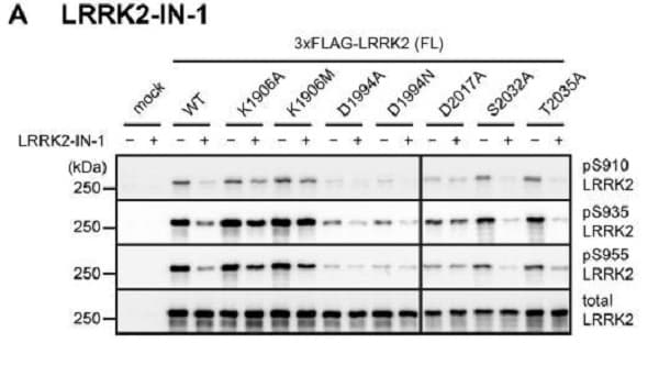 Western blot - Anti-LRRK2 (phospho S935) antibody [UDD2 10(12)] (ab133450)