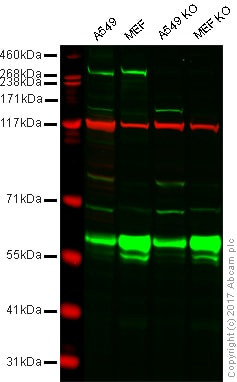 Western blot - Anti-LRRK2 antibody [MJFF2 (c41-2)] (ab133474)
