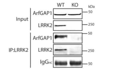 Immunoprecipitation - Anti-LRRK2 antibody [MJFF2 (c41-2)] (ab133474)