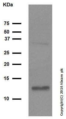 Western blot - Anti-Cytochrome C antibody [EPR1327] (ab133504)