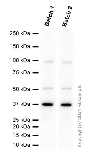 免疫印迹-抗Rad51抗体[EPR4030(3)](ab133534)