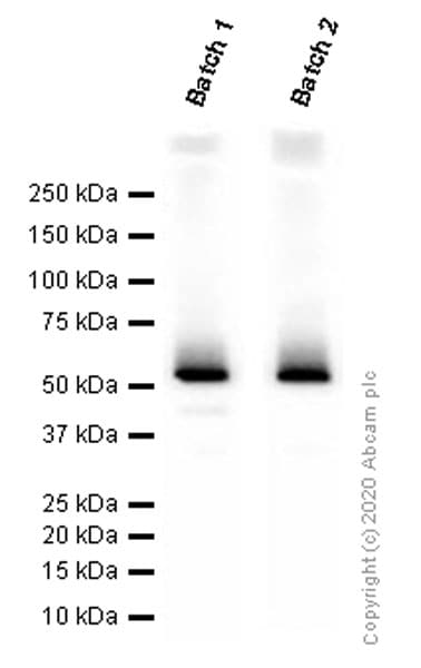 Western blot - Anti-CD4 antibody [EPR6855] (ab133616)