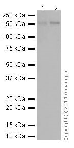 Western blot - Anti-Ret antibody [EPR2871] (ab134100)