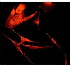 Immunocytochemistry/ Immunofluorescence - Anti-CLSTN1 antibody [EPR2963] (ab134130)
