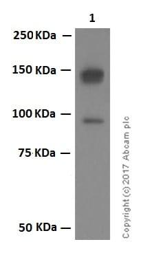 Western blot - Anti-CLSTN1 antibody [EPR2963] (ab134130)