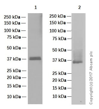Western印迹-抗细胞周期蛋白D1抗体[EPR2241] -C-末端(AB134175)