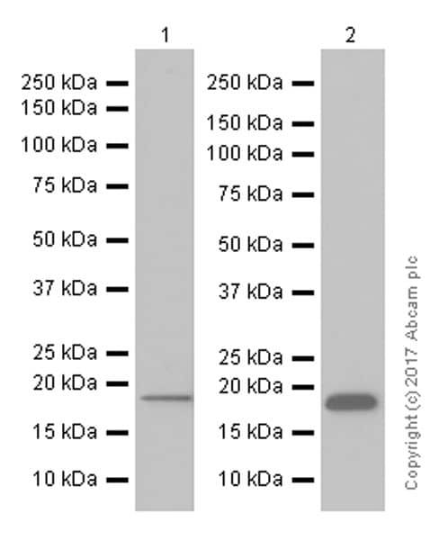 Western blot - Anti-Ndufs4 antibody [EP7832] (ab137064)