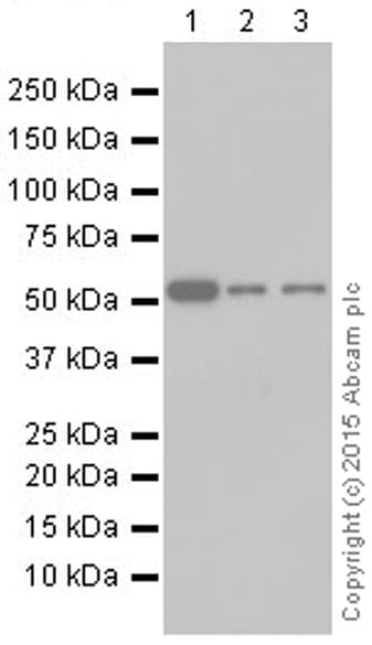 Western blot - Anti-P4HB antibody [EPR9499] (ab137110)