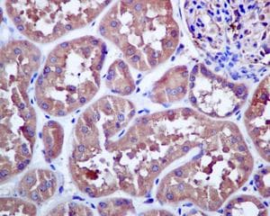 Immunohistochemistry (Formalin/PFA-fixed paraffin-embedded sections) - Anti-NEK9 antibody [EP7361] (ab138488)