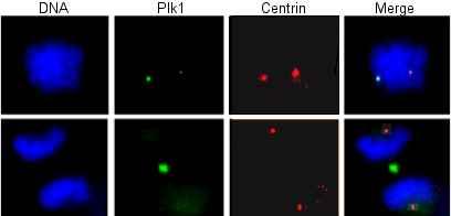 Anti-PLK1 antibody [Mixed clones, 3G251] (ab14210)