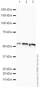 Western blot - Anti-ATPB antibody [3D5] - Mitochondrial Marker (ab14730)