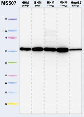 Western blot - Anti-ATP5A antibody [15H4C4] - Mitochondrial Marker (ab14748)