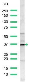 Western blot - Anti-Cyclin D1 antibody, prediluted (ab15196)