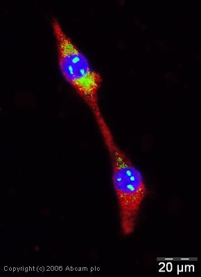 Immunocytochemistry/ Immunofluorescence - Anti-Wnt1 antibody (ab15251)