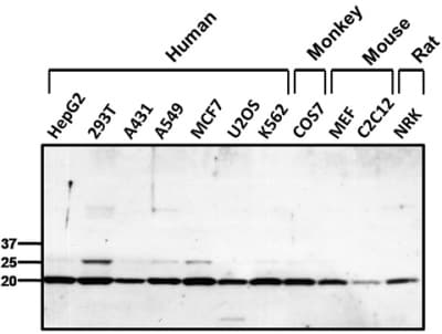 Western blot - Anti-Peroxiredoxin 1 antibody (ab15571)