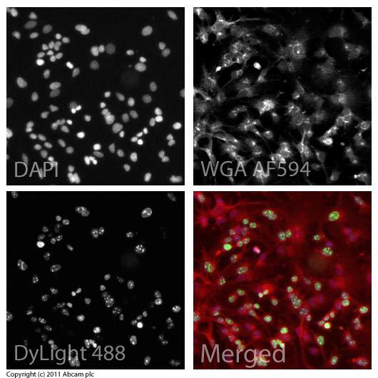 Immunocytochemistry/ Immunofluorescence - Anti-Ki67 antibody (ab15580)