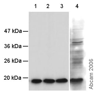 Western blot - Histone H3 (mono methyl R2) antibody - ChIP Grade (ab15584)