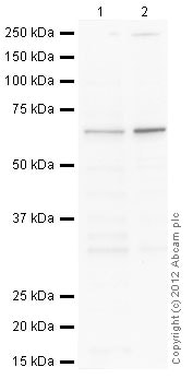 Western blot - HeLa whole cell lysate (ab150035)