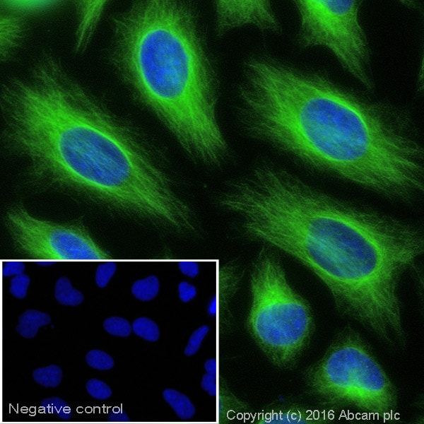 Immunocytochemistry/ Immunofluorescence - Goat Anti-Rabbit IgG H&L (Alexa Fluor® 488) (ab150077)