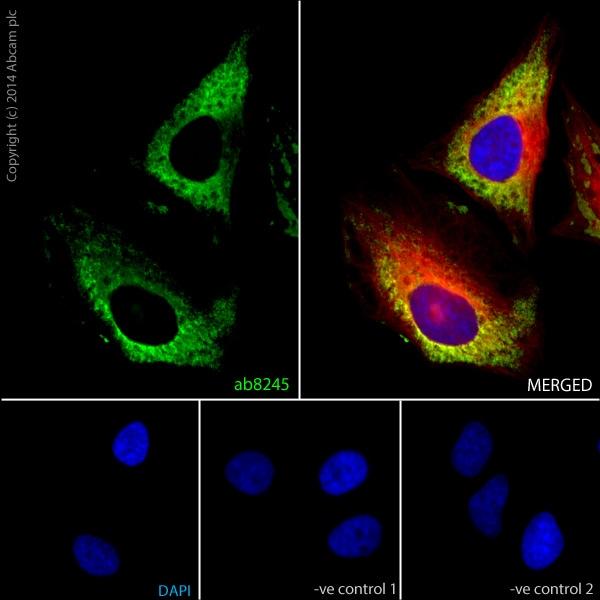 免疫细胞化学/免疫荧光-山羊抗鼠IgG H&L(Alexa Fluor®488)预吸附(ab150117)