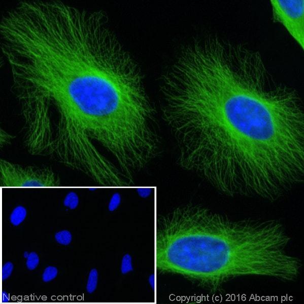 Immunocytochemistry/ Immunofluorescence - Goat Anti-Rat IgG H&L (Alexa Fluor® 488) (ab150157)
