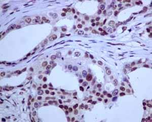 Immunohistochemistry (Formalin/PFA-fixed paraffin-embedded sections) - Anti-E2F4 antibody [EPR8259] (ab150360)