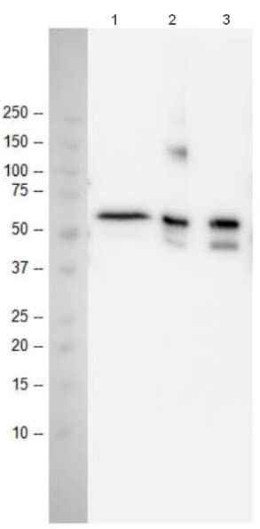 Immunoprecipitation - Anti-p53 antibody [9D3DE3] (ab154036)