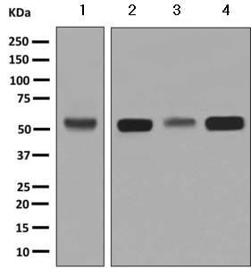 Western blot - Anti-TRK fused gene antibody [EPR8766] (ab156866)