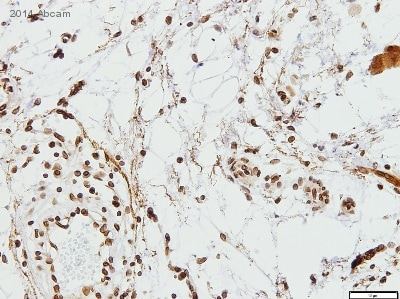 Immunohistochemistry (Formalin/PFA-fixed paraffin-embedded sections) - Anti-Lamin B1 antibody - Nuclear Envelope Marker (ab16048)