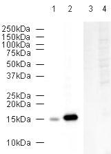 Western blot - Anti-COX IV antibody - Mitochondrial Loading Control (ab16056)