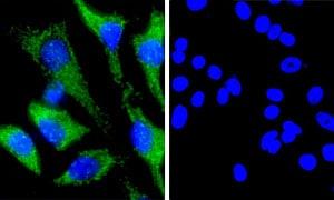 Immunocytochemistry/ Immunofluorescence - Rabbit IgG, monoclonal [EPR25A] - Isotype Control (ab172730)